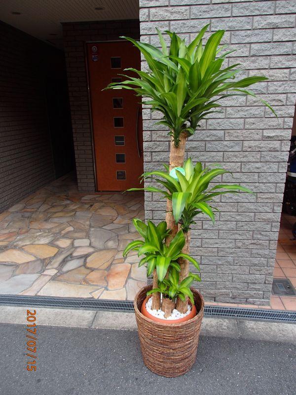 画像1: 観葉植物 G-1  幸福の木 (1)
