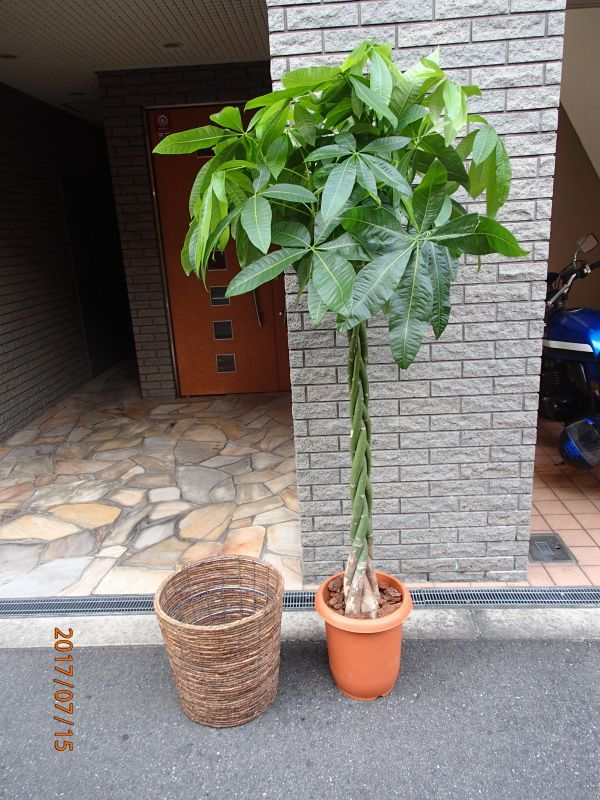 画像1: 観葉植物 G-2  パキラ (1)
