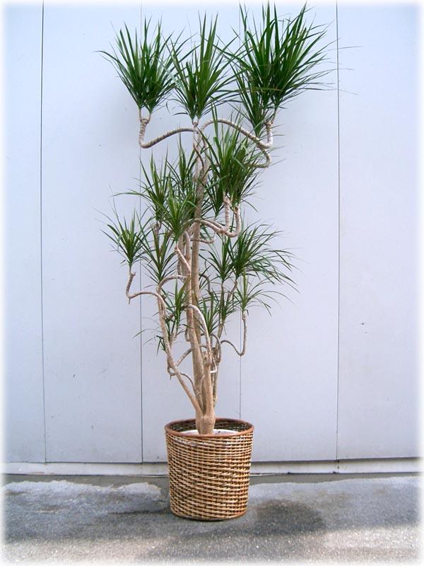 画像1: 観葉植物 G-3  コンシンネ (1)