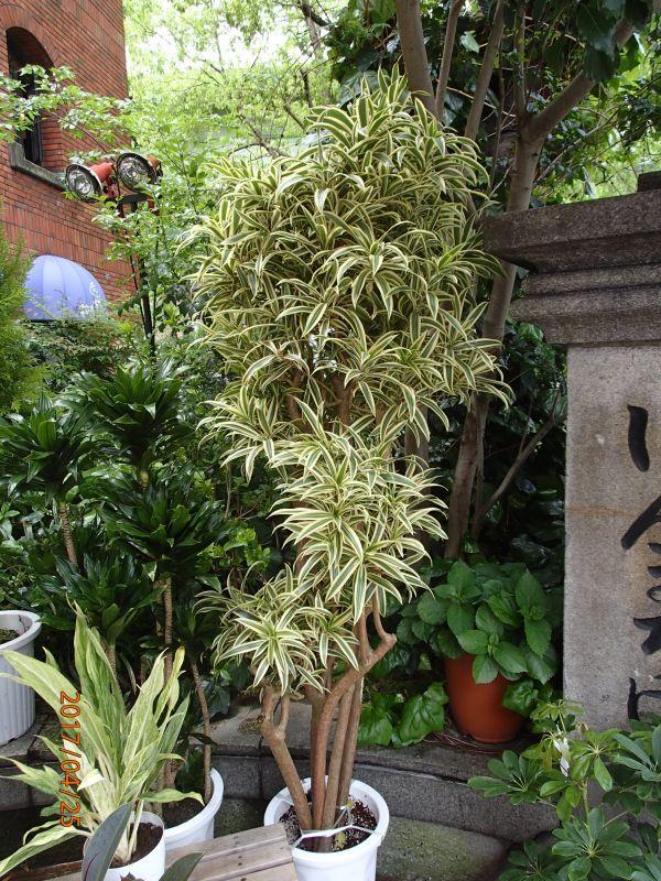 画像1: 観葉植物 G-4  ソングオブインディオ (1)