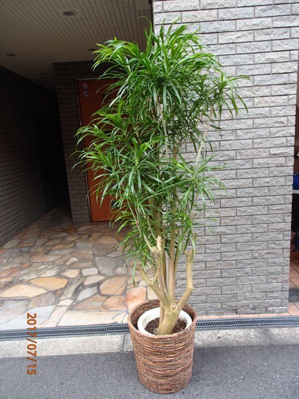 画像1: 観葉植物 G-5  リフレクサ (1)
