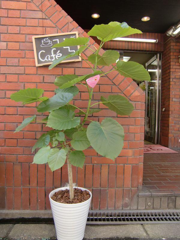 画像1: 観葉植物 G-7  ウンベラータ (1)