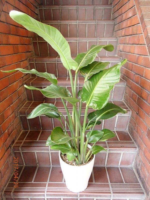 画像1: 観葉植物 G-8  ストレチアオーガスタ (1)