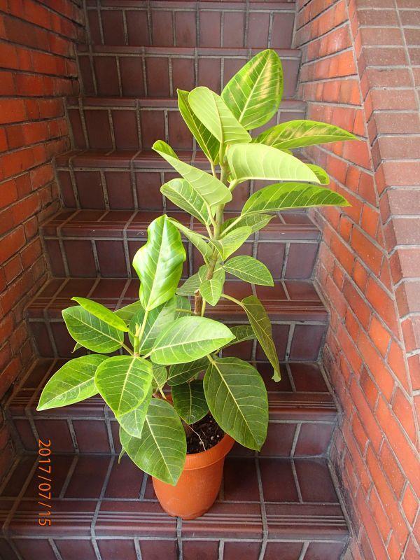 画像1: 観葉植物 G-9  アルテシーマ (1)